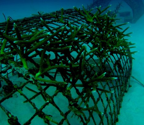 Coral nursery recovered from algal bloom