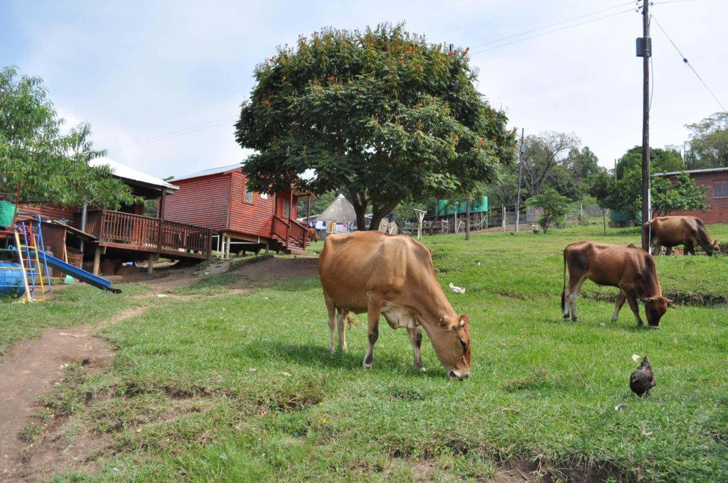 Happy Cows Roaming the Campus