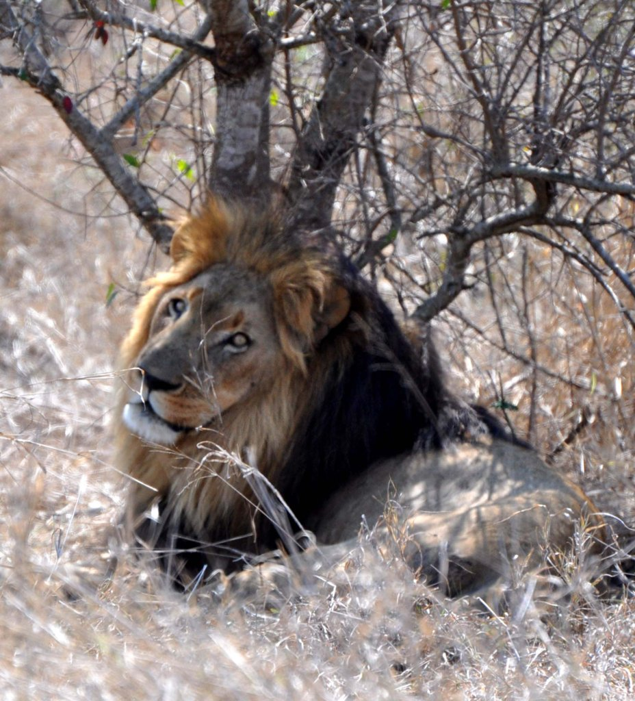 Majestic Lion in the Hlane Game Park