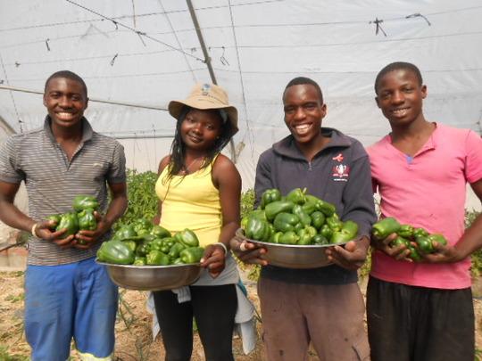 A winter bumper crop of green peppers!