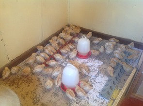 The Chicks project at the shelter