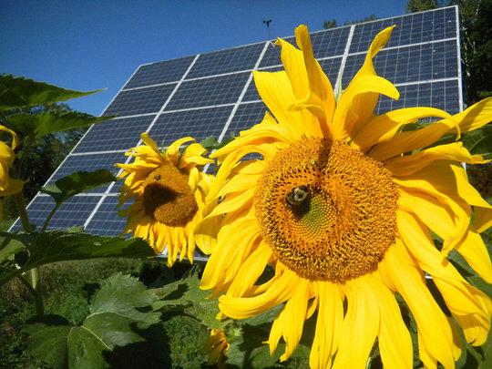 Sunflower Solar (CC courtesy Sterling College)