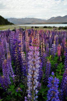 Alpine Flower Of New Zealand