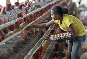 Timor-Leste Chicken Farm
