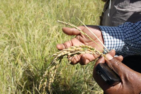 Comparing the quality vs. non-quality rice grain