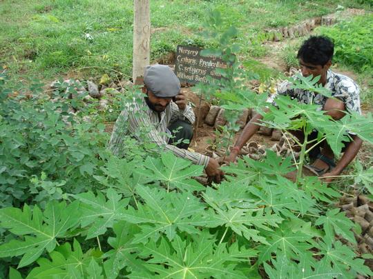 Agroforestry plants raising at KRAPAVIS