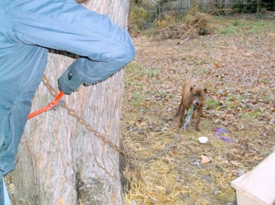 Cutting Harley's chain off of the tree. Free now!