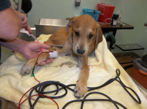pup being treated for Parvo