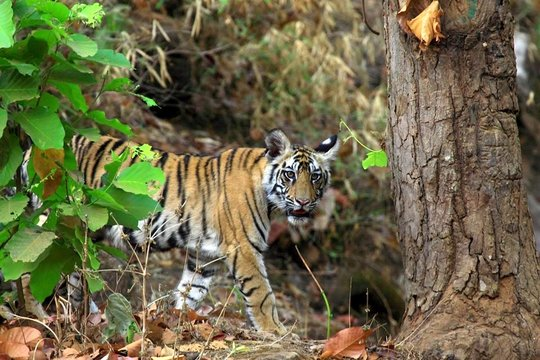 A young tiger in the forests of South India