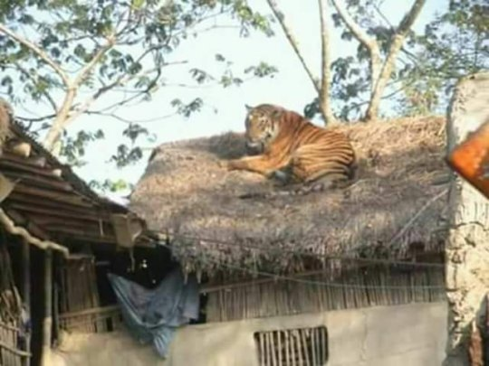 Tiger on roof
