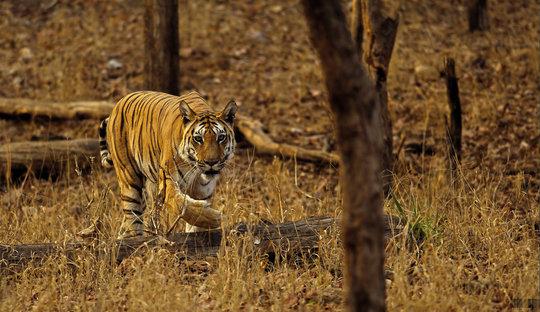 Wild tiger in central India. Pic: Aditya Joshi