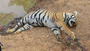 Tiger's leg caught in trap. Pic:Bandu Dhotre