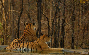 Tigress with one of her cubs. Pic: Aditya Joshi