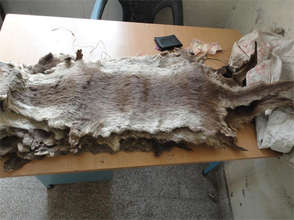Small clawed otter skin seized in Himachal Pradesh