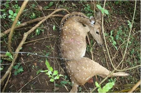 Spotted deer trapped in a snare