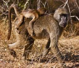 Baboons are considered pests in many areas