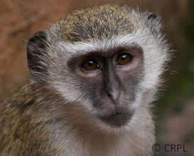 Malbrouck monkey at Lwiro sanctuary (DRC)