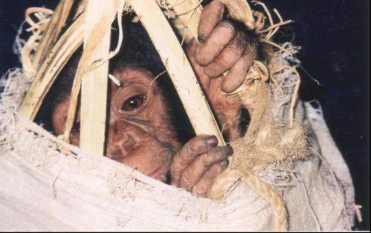 Trafficked chimp smuggled in a basket