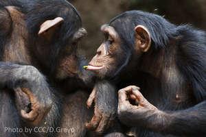 Chimps at CCC, Guinea