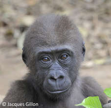 Gorillla at Ape Action Africa (Cameroon)