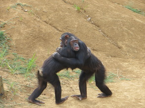 A partially blind chimp gets help from a friend