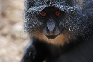 Endangered blue monkey at Lilongwe