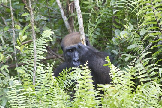 Fernan-Vaz Gorilla Project