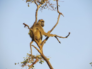 Yellow baboon at Lilongwe Wildlife Centre