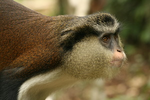 Mt. Cameroon Nat'l Park is home to Mona monkeys
