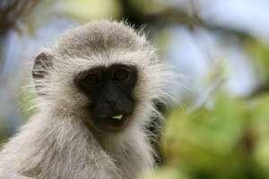 Vervet monkeys are targeted as pests