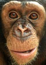 Chimpanzees are at risk from conflict with humans