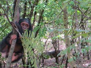 Young chimp at JACK sanctuary in DRC