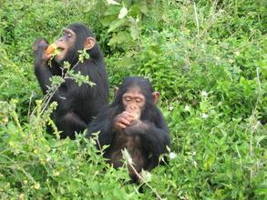 Chimps enjoying fruit at CSWCT