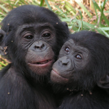 Young bonobos rescued from abuse