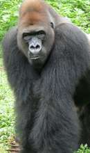 Cameroon's forests are home to endangered gorillas