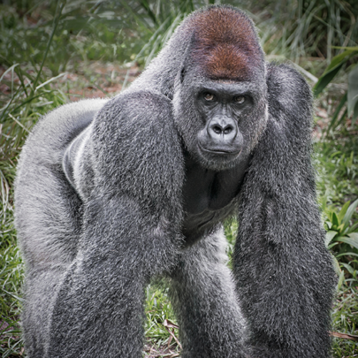 PASA members protect essential gorilla habitat