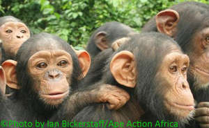 Chimpanzees at Ape Action Africa