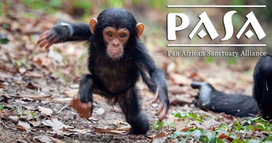 A baby chimp rescued by a PASA member sanctuary