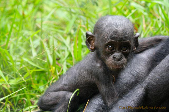 Infant bonobo
