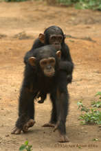 Infant chimpanzees