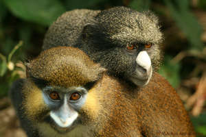 Moustached monkey and putty-nosed monkey