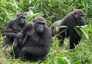 Gorillas in Gabon