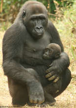 Lowland gorilla mother and baby