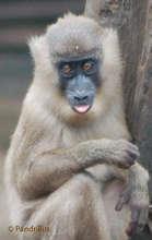 Baby drill monkey