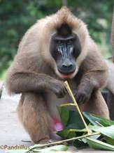Adult male drill monkey