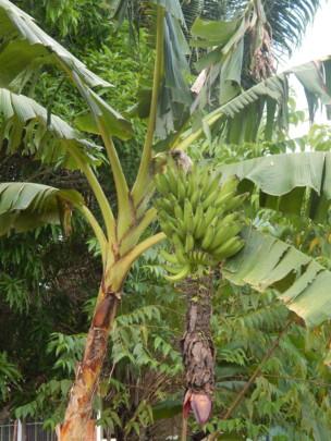 Banana tree bearing fruit at Santa Clara