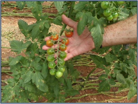 A tomato plant from a participant's plot