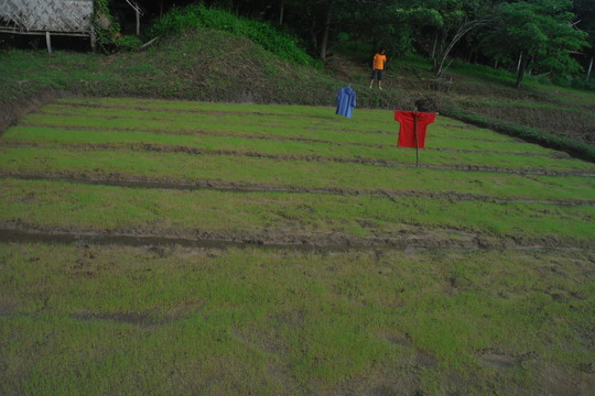 Rice seedling and planting