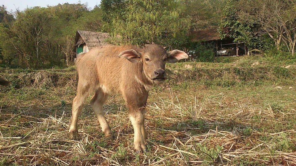 Baby buffalo Mon