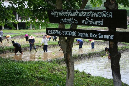 Monsaengdao's rice field